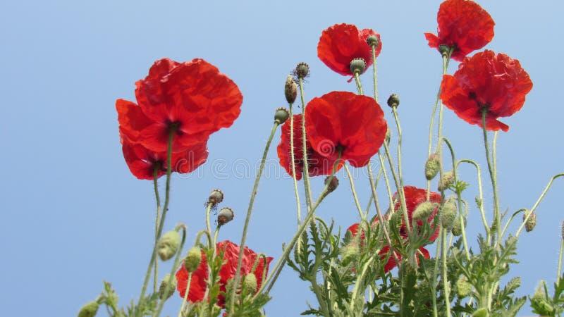 les bourgeons rouges de jardin de groupe de fleur de pavot avec le beau ciel bleu opacifient photographie stock