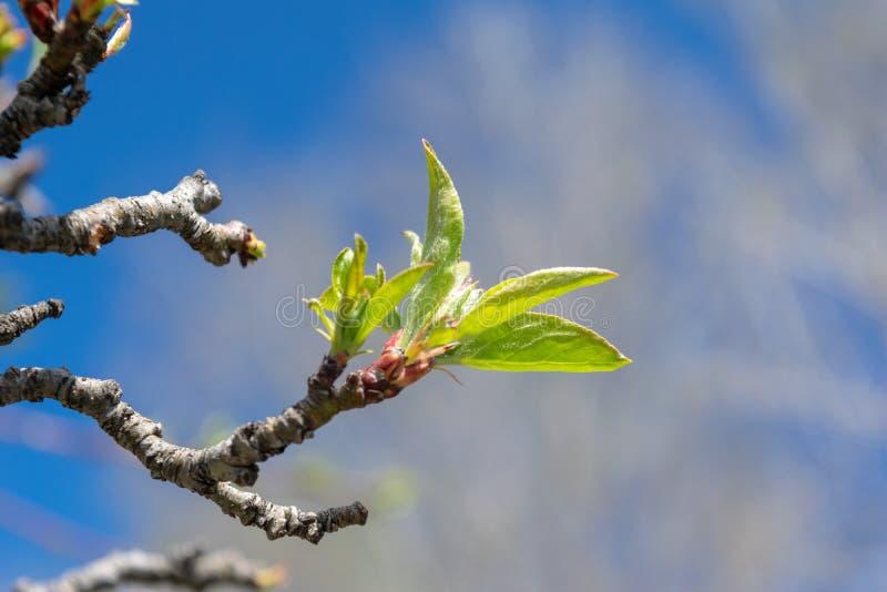 Les bourgeons tendres démarrent pour fleurir comme temps de ressort apporte le soleil et les cieux bleus photographie stock libre de droits