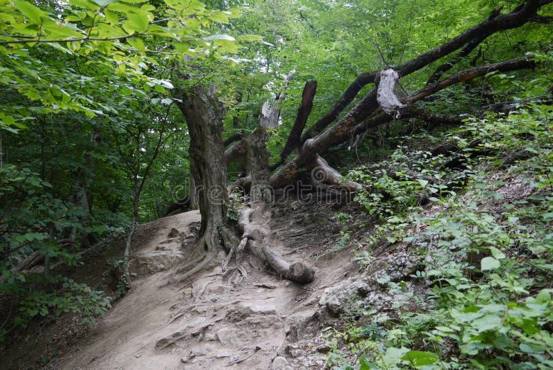 Les branches énormes d'un vieil arbre à feuilles caduques tombé avec de grandes racines sur un flanc de montagne photographie stock