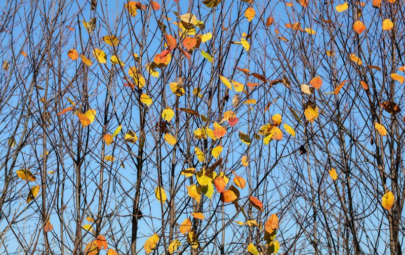 Les branches d'arbre d'automne avec presque aucune feuilles, seulement peu de petits morceaux colorés sont parties Fond abstrait  image stock