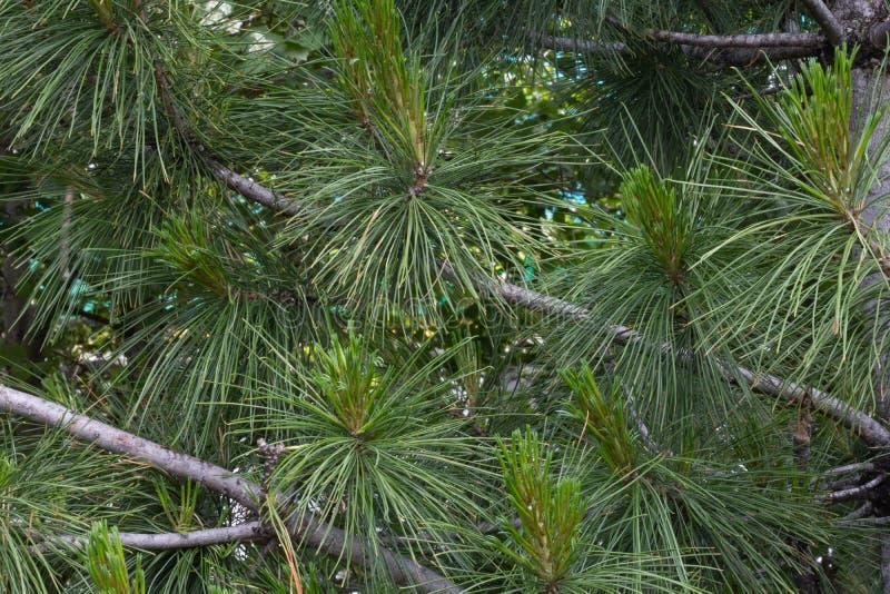 Les branches d'arbre de Noël sont pelucheuses et belles image stock