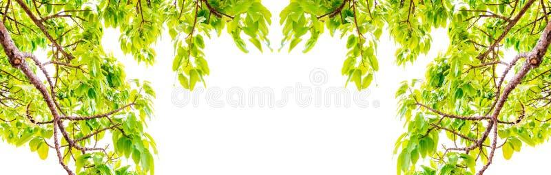 Les branches d'arbres fraîches de feuilles encadrent de belles feuilles vertes d'isolement sur le fond d'image blanc pour le fond photographie stock