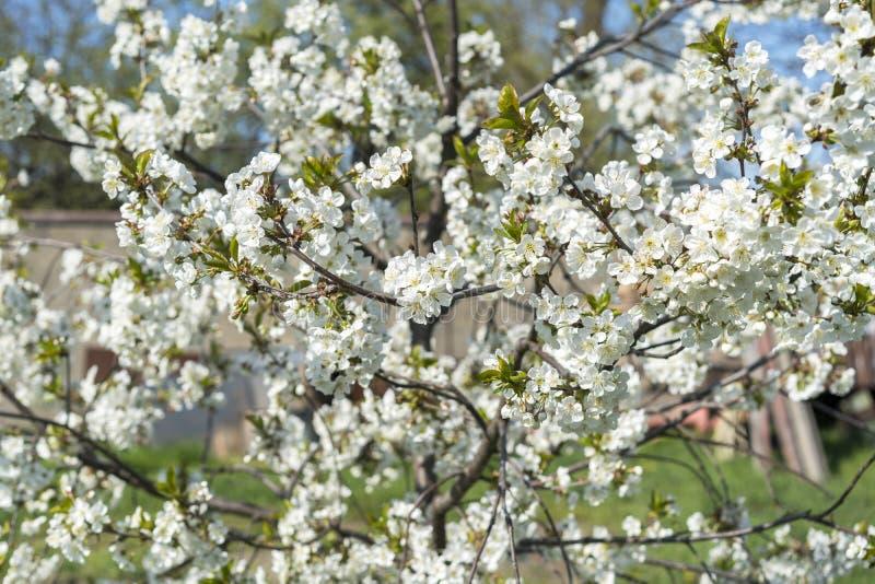 Les branches d'un arbre de floraison Cerisier en fleurs blanches Fond de flou images stock