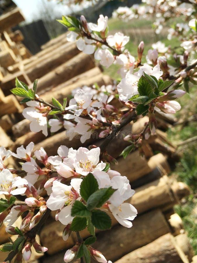 Les branches d'un arbre de floraison Cerisier en fleurs blanches Fond de flou images libres de droits