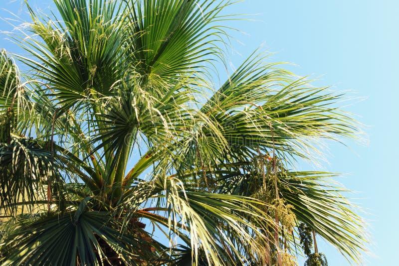 Les branches d'un palmier contre le ciel bleu Photo d'été photos stock