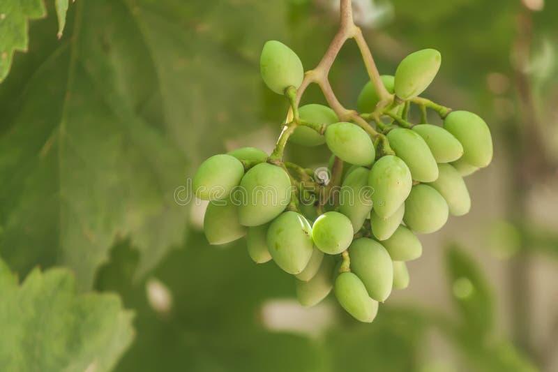 Les branches de jeunes raisins verts avec des feuilles photos stock