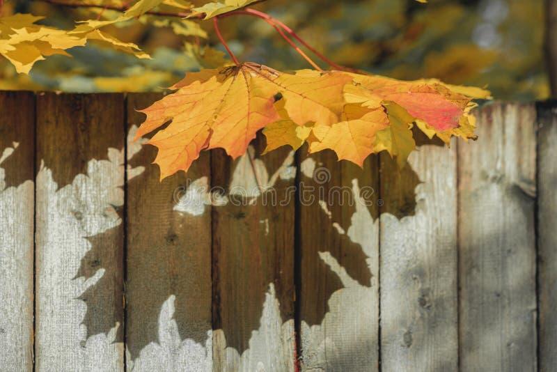 Les branches de l'érable orange lumineux part contre d'une vieille barrière en bois, fond naturel d'automne images libres de droits