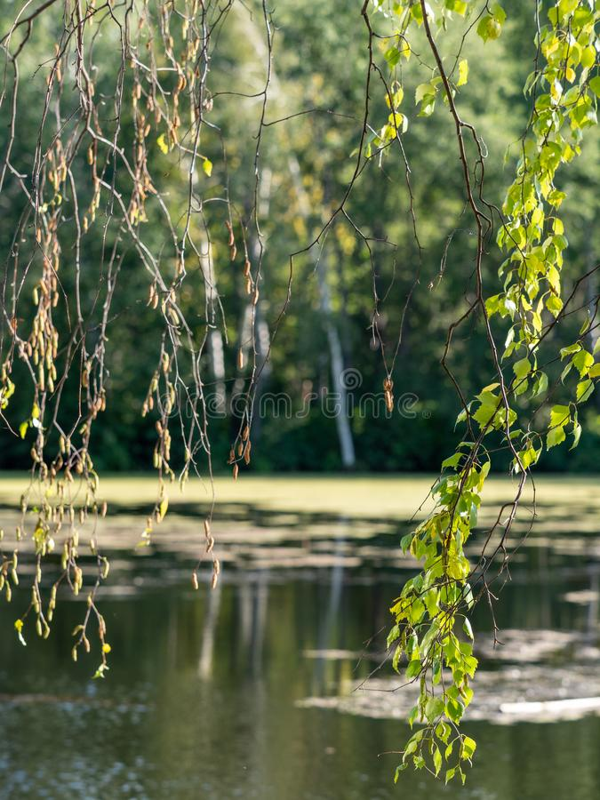 Les branches du bouleau sur le fond d'un petit lac photos stock