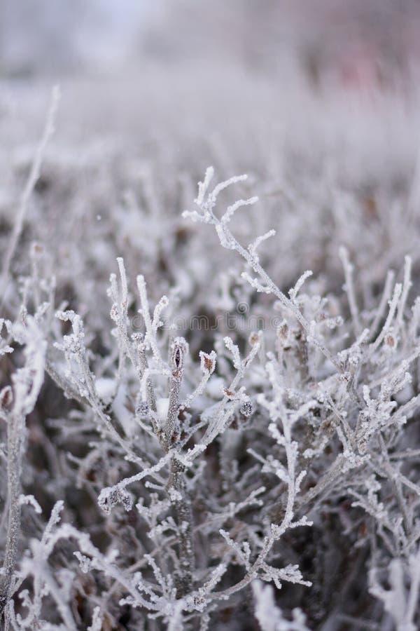 Les branches du buisson dans le lustre glacial photographie stock