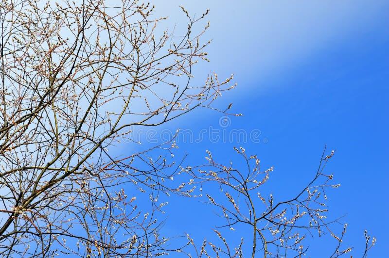 Les branches du saule fleurissant contre le ciel bleu avec des nuages Beau fond image stock