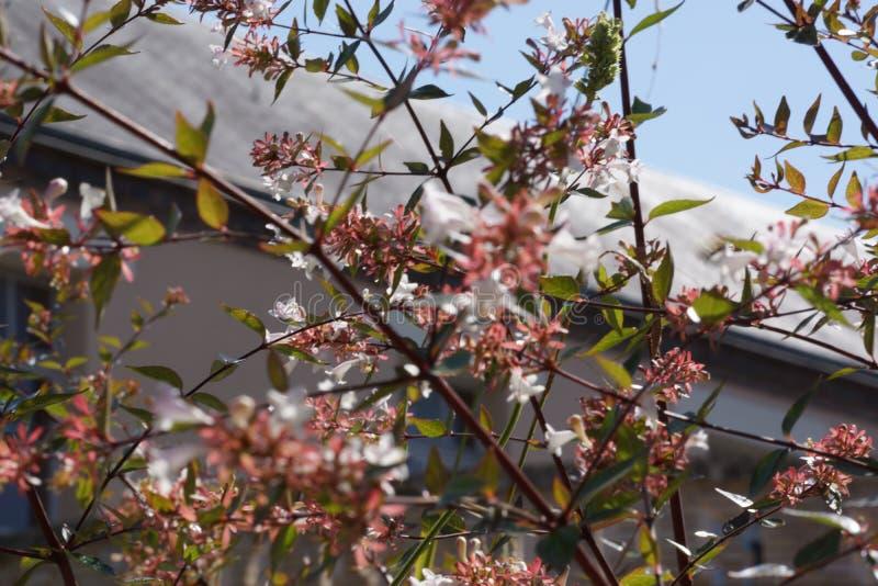 Les branches fleurissent avec de petites fleurs roses au soleil photos stock
