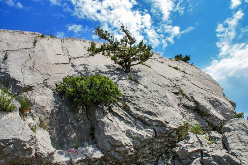 Les buissons et les arbres chétifs s'élevant sur la roche photos libres de droits