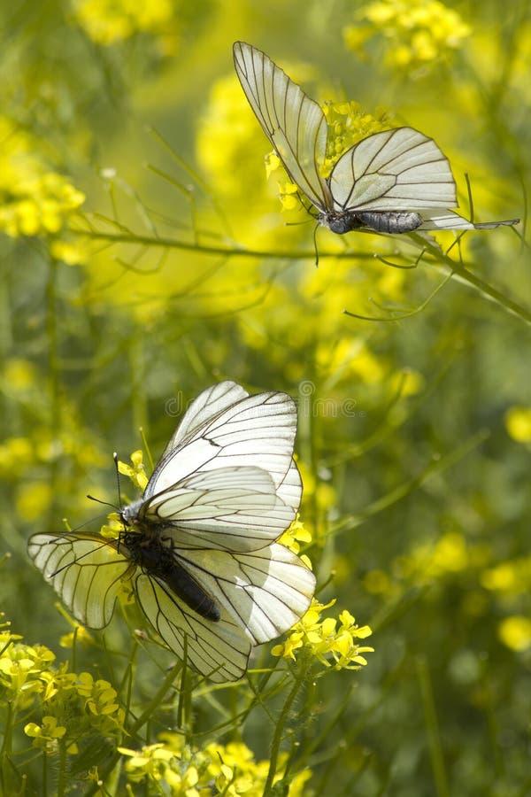 Les butterflys d'insectes aiment la nature photo libre de droits
