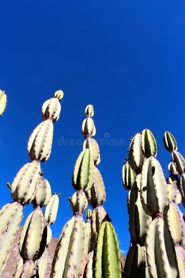 Les cactus de canyon de Colca photographie stock