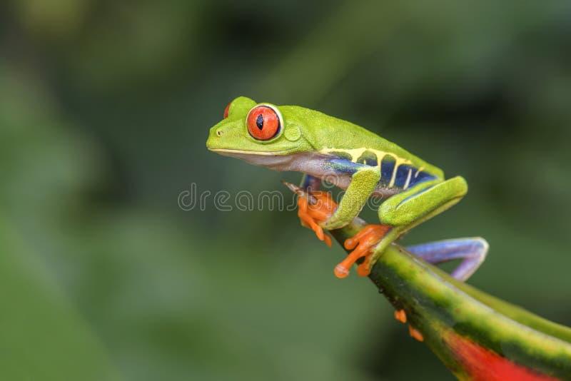 les callidryas d'agalychnis ont observé l'arbre de rouge de grenouille photos libres de droits