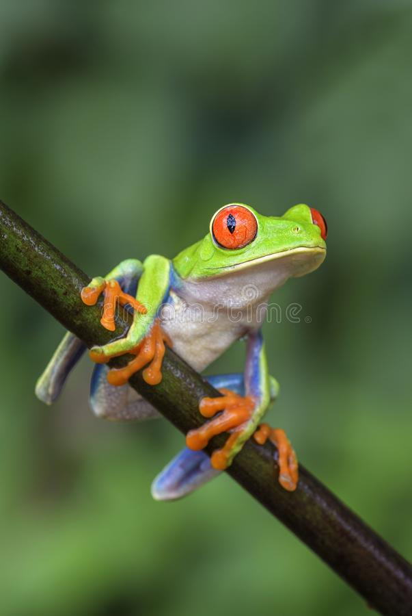 les callidryas d'agalychnis ont observé l'arbre de rouge de grenouille image libre de droits