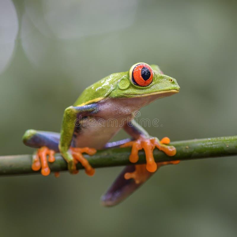 les callidryas d'agalychnis ont observé l'arbre de rouge de grenouille image stock