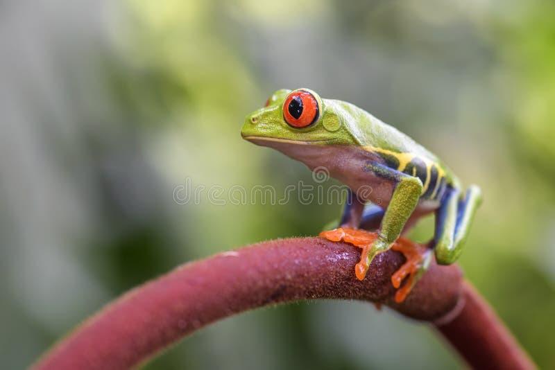 les callidryas d'agalychnis ont observé l'arbre de rouge de grenouille photos stock