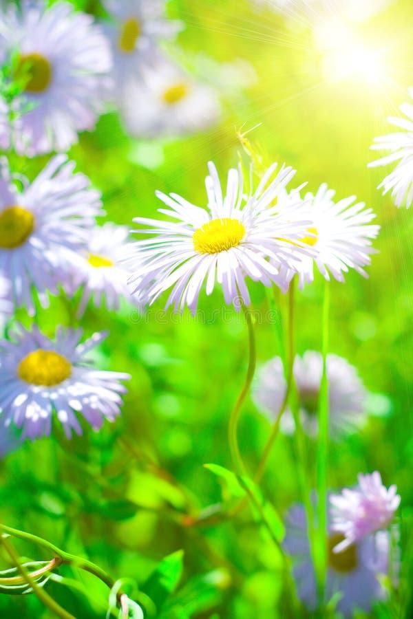 Download Les camomiles image stock. Image du beau, milieux, fleur - 8664737