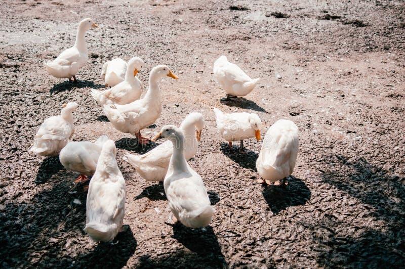 Les canards blancs sur la boue ont rectifié dans la ferme rurale, Thaïlande photographie stock