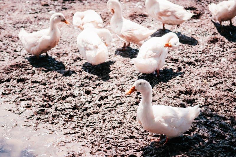 Les canards blancs sur la boue ont rectifié dans la ferme rurale, Thaïlande image libre de droits