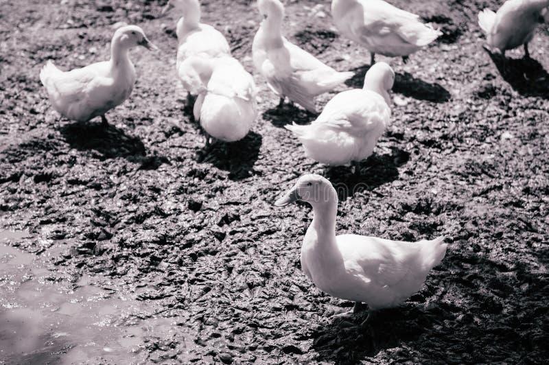 Les canards blancs sur la boue ont rectifié dans la ferme rurale, Thaïlande photos libres de droits