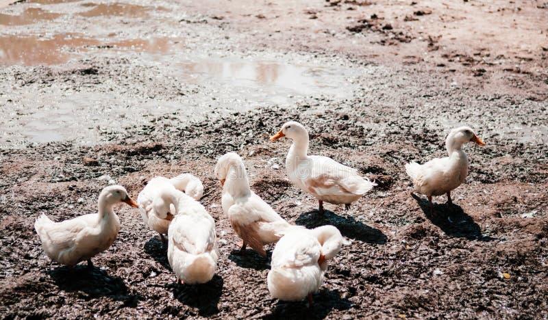 Les canards blancs sur la boue ont rectifié dans la ferme rurale, Thaïlande images libres de droits