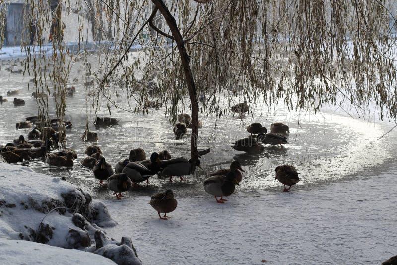 Les canards marchent dans la neige et le bain dans l'eau à la recherche de la nourriture pendant l'hiver images libres de droits