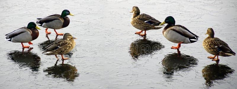 Les canards marchent sur la glace mince Matin de Frosty March Étang figé images libres de droits