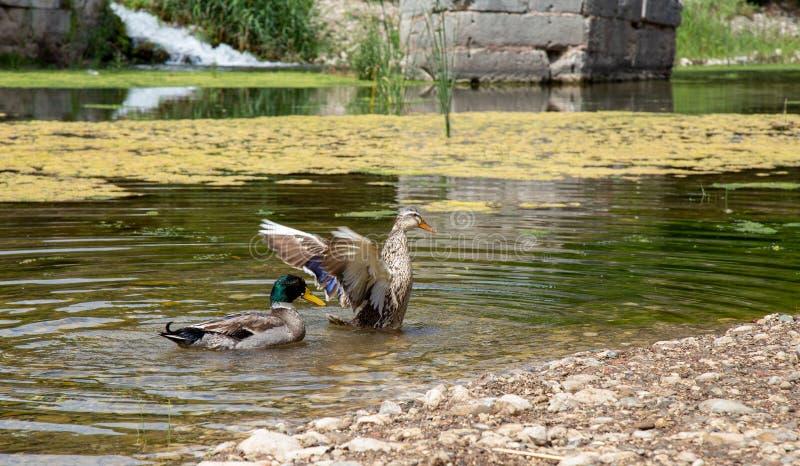Les canards nagent dans The Creek photo stock