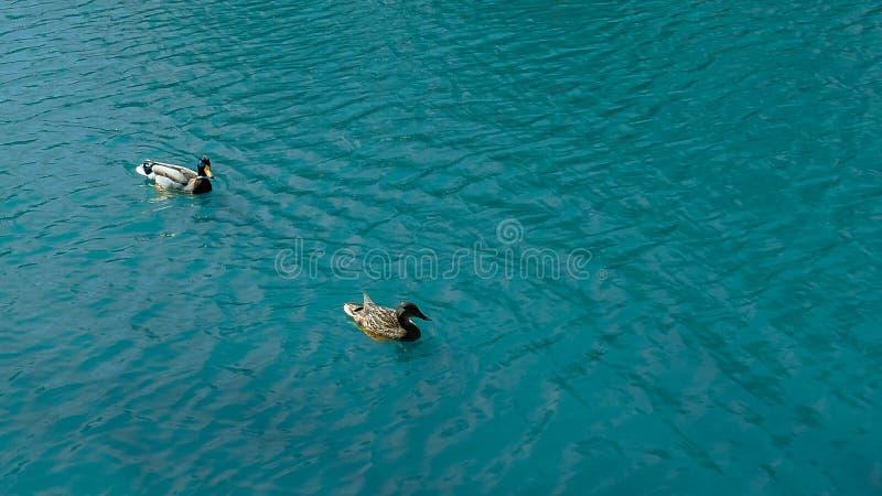 Les canards nagent dans l'?tang en parc photos libres de droits