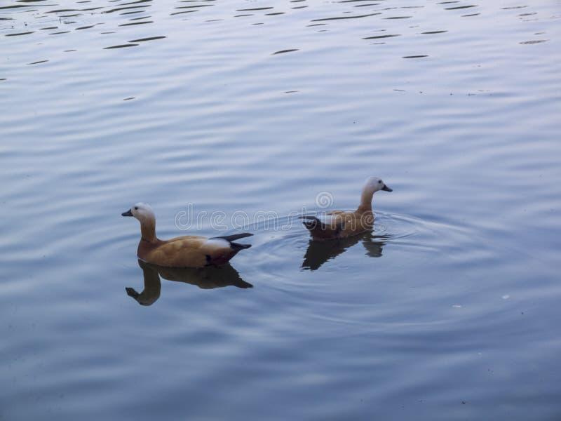 Les canards nagent sur l'eau bleue image libre de droits