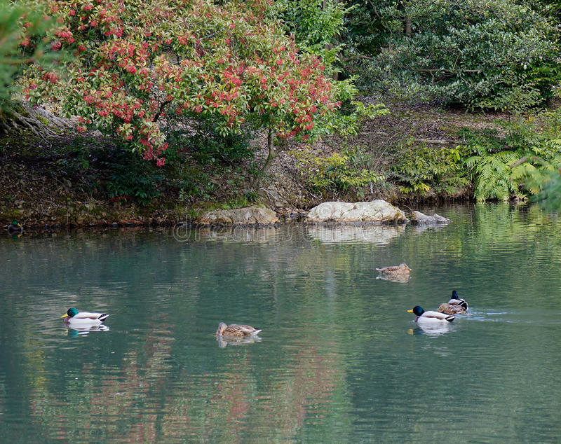 Les canards nagent sur le lac au temple de Kinkaku à Kyoto, Japon images stock