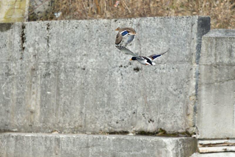 Les canards sauvages font un atterrissage et volent au-dessus de la rivière pendant l'hiver photo stock