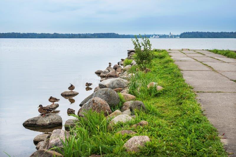 Les canards se reposent sur le rivage du Valdai photographie stock libre de droits