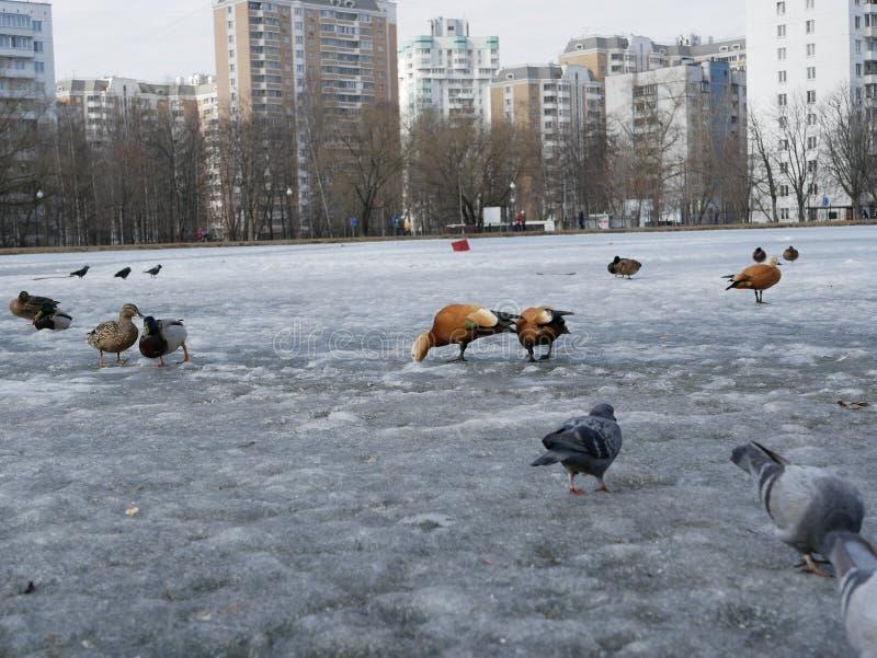 Les canards, les tadornes et les pigeons marchent sur l'?tang congel? de ville une journ?e de printemps ensoleill?e photos stock