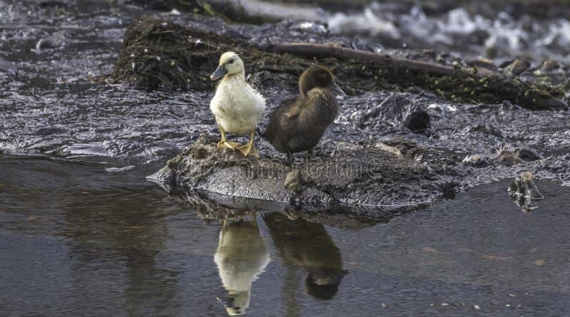 Les canetons jaunes et bruns aux eaux affilent photographie stock
