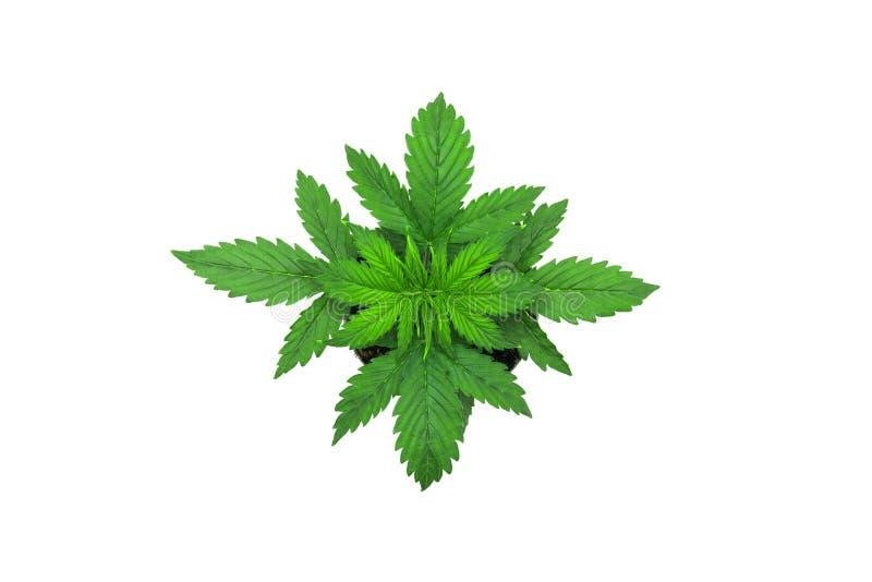 Les cannabis plantent l'élevage Période de végétation Feuilles de marijuana Cannabis sur un fond blanc photographie stock