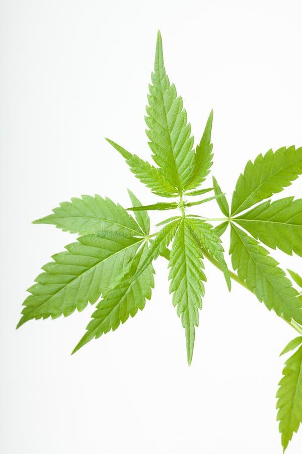 Les cannabis plantent, marijuana sur le fond blanc image libre de droits