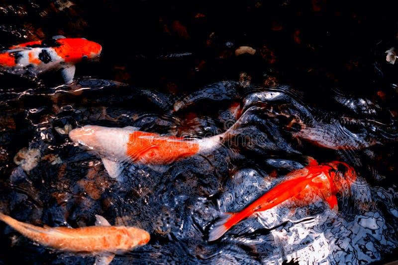 Les carpes de fantaisie colorées pêche dans l'eau légère de faible luminosité photos stock