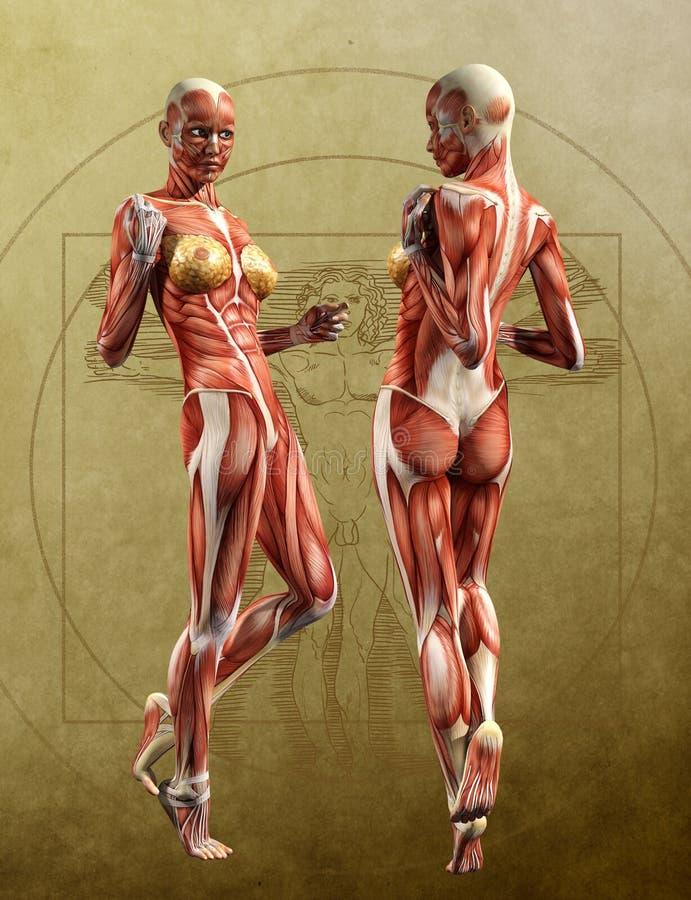 Les cartes de muscle reflètent l'avant d'anatomie, dos - femelle adulte illustration libre de droits