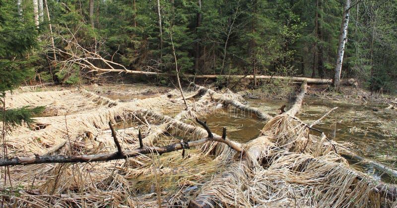 Les castors avaient rongé des arbres image stock