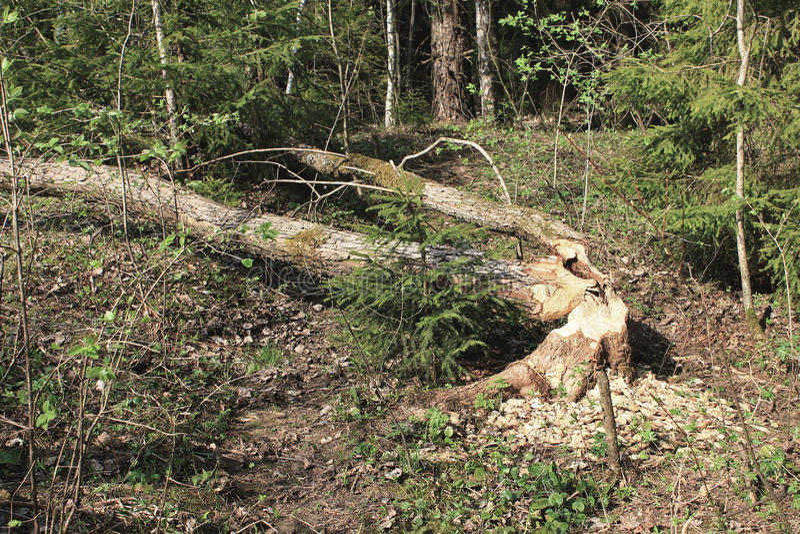 Les castors avaient rongé des arbres photos libres de droits