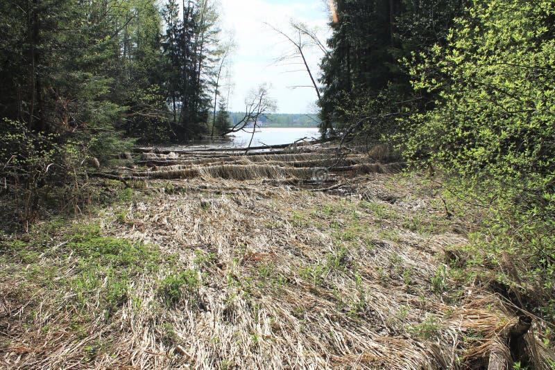 Les castors avaient rongé des arbres photo libre de droits