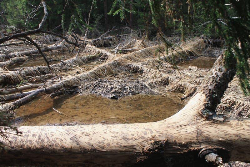 Les castors avaient rongé des arbres images stock