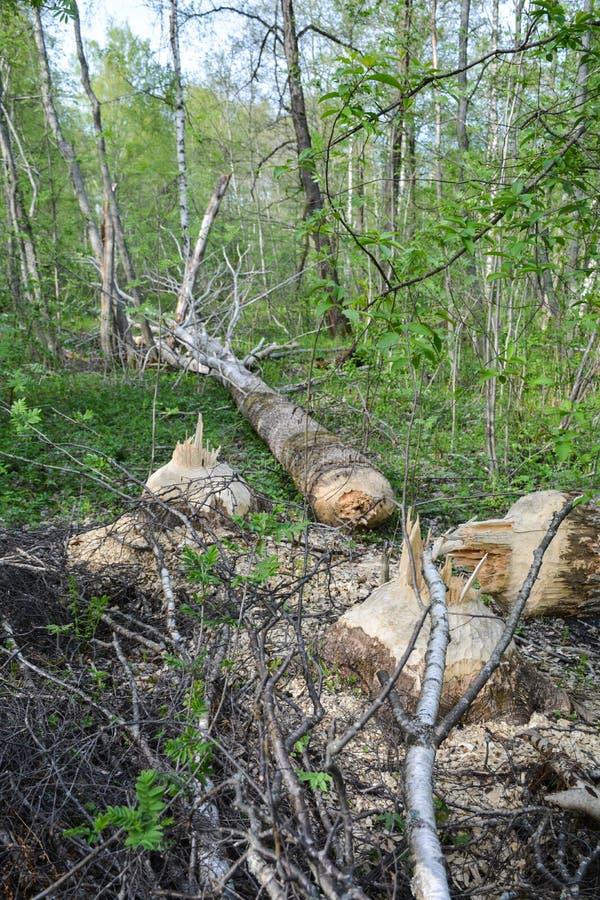 Les castors construisent un barrage sur la rivière photo stock