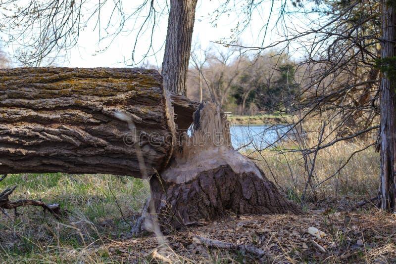 Les castors d'arbre ont réduit par la rivière Nébraska de plat photos libres de droits