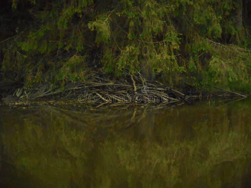 Les castors logent dans la forêt dans un étang image libre de droits