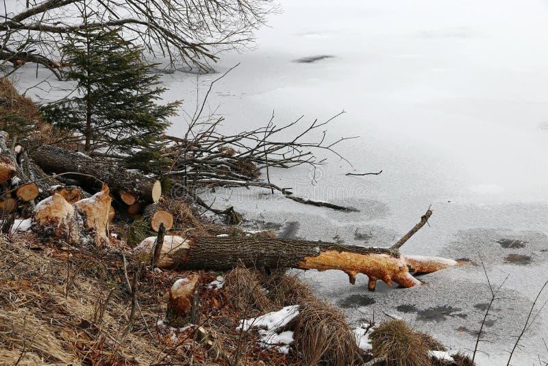 Les castors ont abattu des arbres en hiver image libre de droits