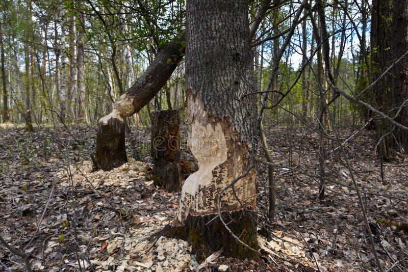 Les castors ont mâché des troncs d'arbre photos libres de droits